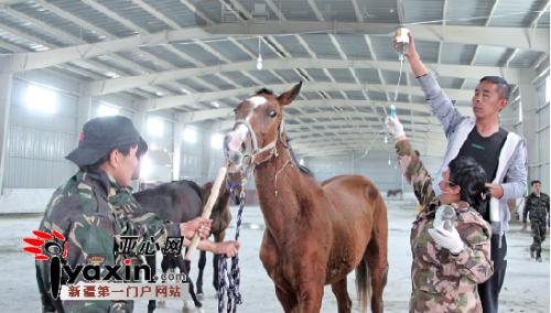 驯马师和兽医给生病的汗血宝马挂吊瓶,北京良驹文化发展有限公司提供。