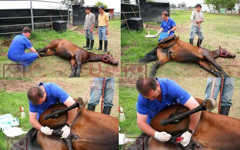 马匹的阉割手术全过程[组图]